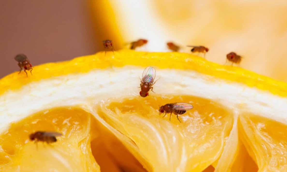 Blijf de hele zomer verlost van vervelende fruitvliegjes